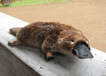 Platypus - Cameron Poetzscher - Nature in Australia