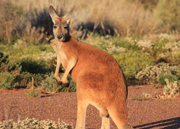 The red kangaroo - Cameron Poetzscher-Nature in Australia