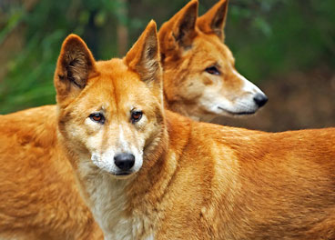 Dingoes - Cameron Poetzscher - Nature in Australia