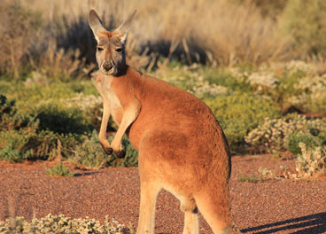 The red kangaroo - Cameron Poetzscher-Nature in Australia